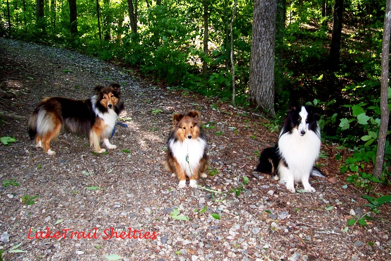 Shetland Sheepdogs-Shelties enjoy the trail to Hartwell lake